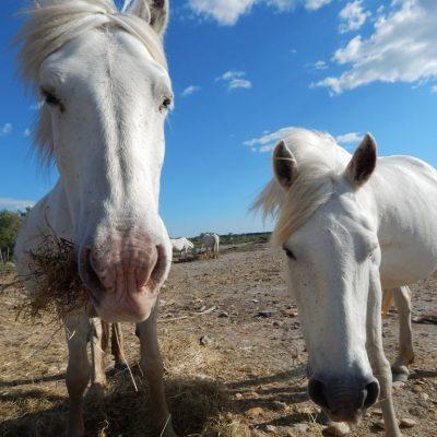 Horses in camargue